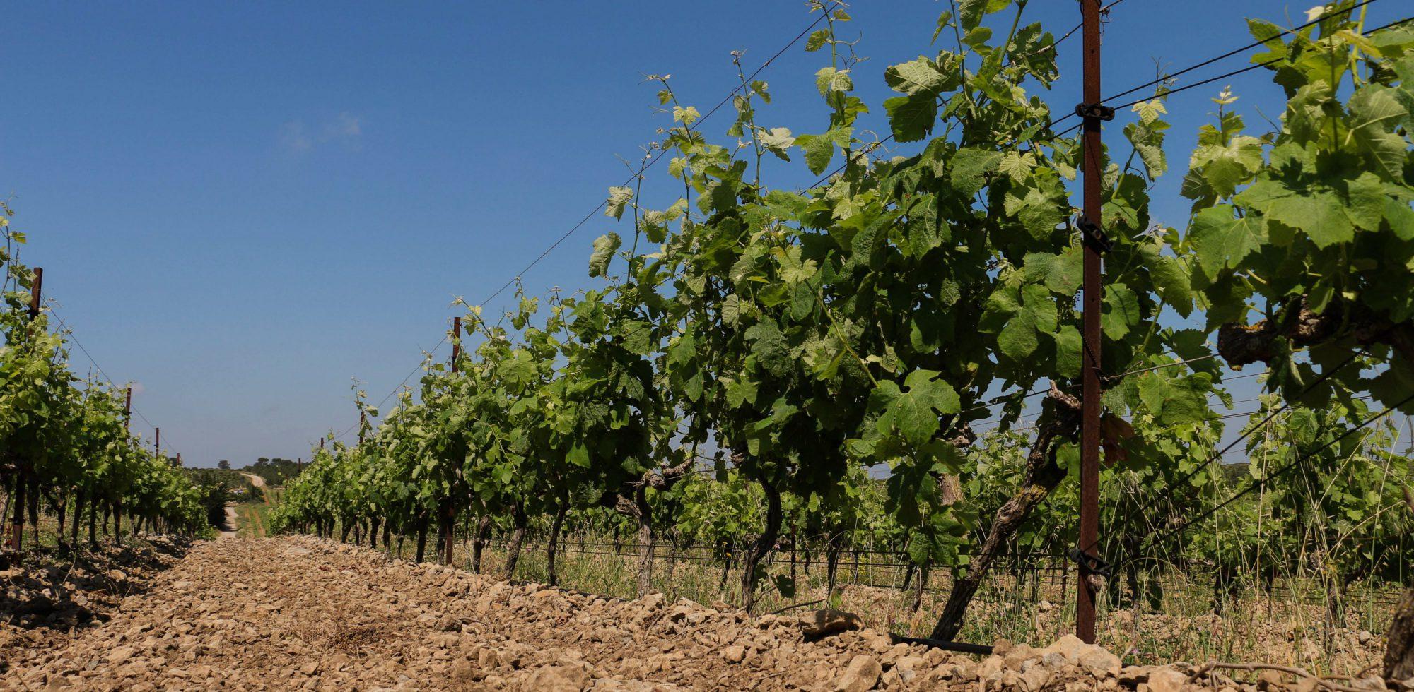 Château Camplazens - vignoble de la clape